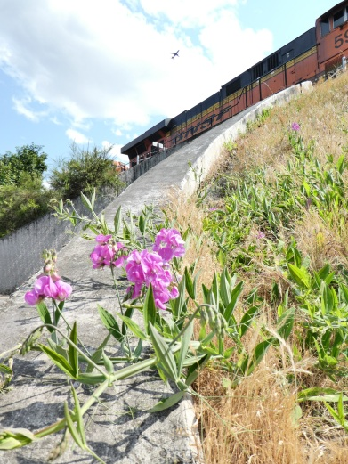 the group of flowers are the only color on this concrete underpass; i could not resist the contrasts in color: the green grass that scales the hill is turning brown, the lavender flowers attempt to climb up to the bnsf engine while a passenger filled plane whisks off somewhere maybe romantic