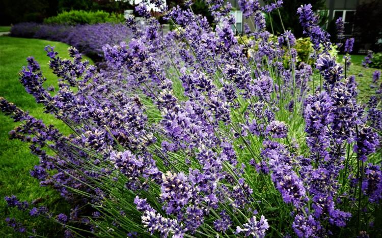 bursting lavender