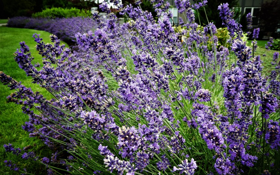 bursting lavender