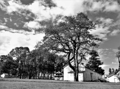 Throughout the Fort Vancouver grounds oak trees tower, pine dominate however, here a mighty oak soars above supply building, clouds mixing above.